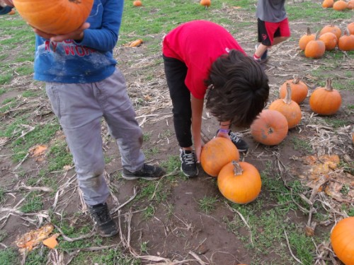 student picking up a pumpkin in the field